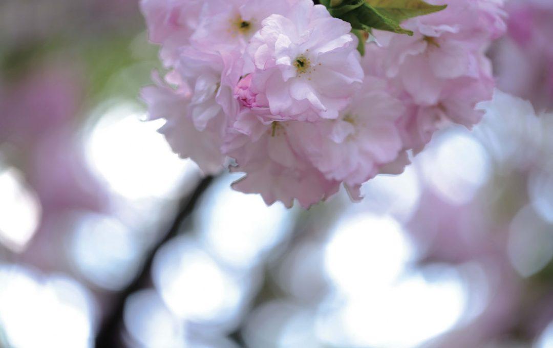 マクロレンズで花一輪に的を絞り接写する〜春の主役サクラ撮るテクニック〜